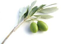 maui grown olives