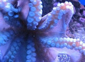 Maui Ocean Center octopus