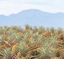 Maui pineapple fields