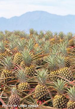 Maui pineapple fields