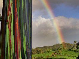 Maui rainbow eucalyptus trees