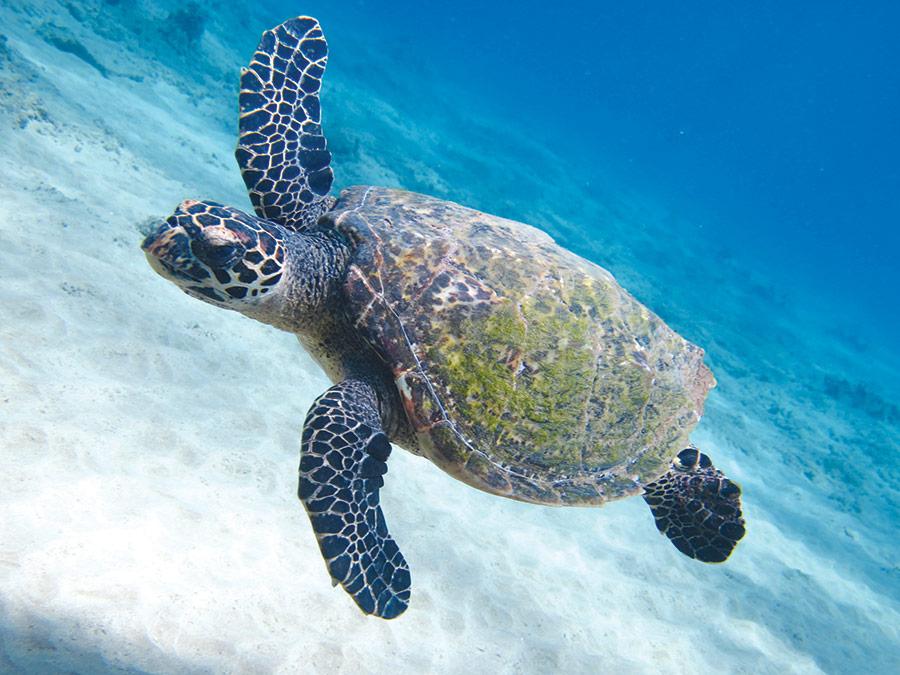 maui sea turtles