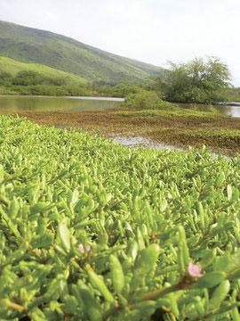 maui-wetlands