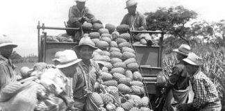 harvesting pineapple historical photo