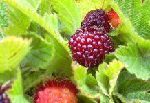Hawaiian raspberry