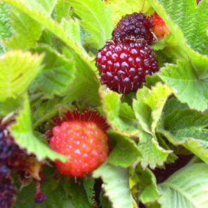 Hawaiian raspberry