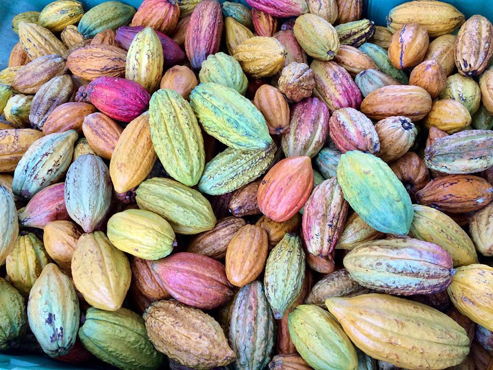 maui cacao pods