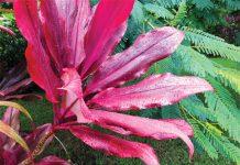 red ti leaf