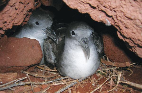 uau Hawaiian birds