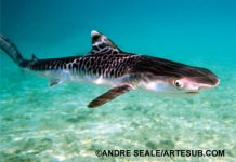 learn about tiger shark pups