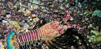 hawaiian spiny lobster