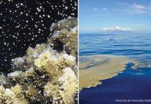 coral spawns