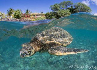 turtle Hawaii