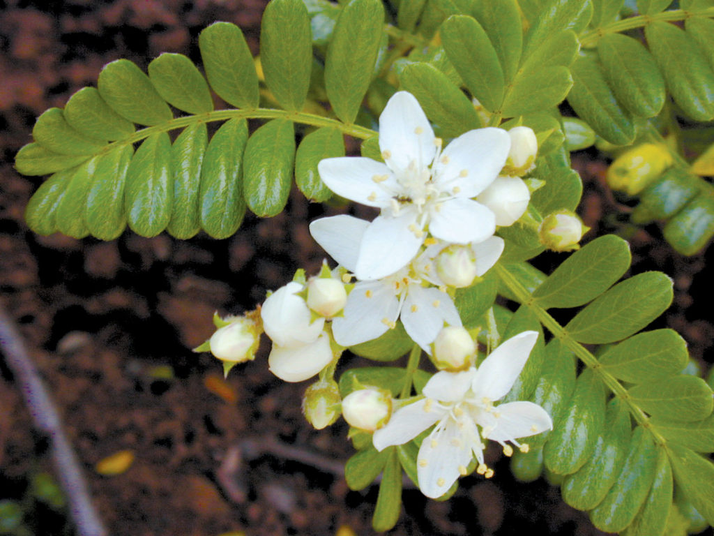ulei plant hawaii