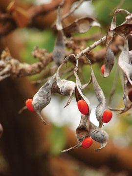 wiliwili-seeds